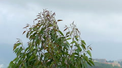 Strong wind blowing eucalyptus trees. Tropical storm climate. 4k-2160 Stock Footage