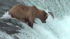Alaskan Brown Bear at the Top of the Falls Has Salmon Jump Close - stock footage