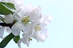 Flowers of an apple-tree in the spring - stock photo
