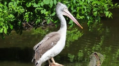 White pelican on the lake Stock Footage