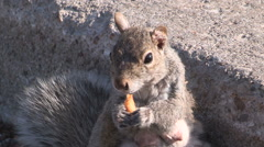 Squirrel eating fattening french fries Stock Footage