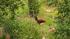Rooster standing on the henyard Stock Footage