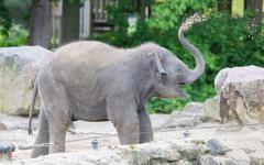 Baby elephant playing - stock photo