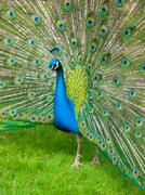 Peacock with spread feathers Stock Photos