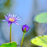 Beautiful lilac waterlily or lotus flower in blue water, closeup Stock Photos