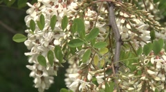 White acacia Stock Footage