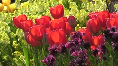 Beautiful Red Tulips with Yellow Spring Easter Flowers Blowing in the Wind Stock Footage
