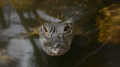 American Alligator in a Florida swamp Stock Footage