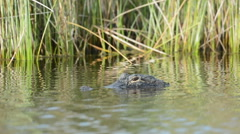 Large alligator submerged in swamp water Stock Footage