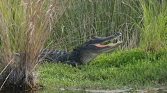 American alligator showing its teeth Stock Footage