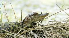 Stock Video Footage of Baby American Alligator sunning itself on weeds