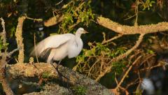 Great egret taking flight from perch Stock Footage