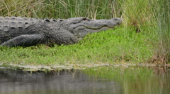 Stock Video Footage of Large American alligator basking in the sun