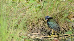 American purple Gallinule in a Florida Swamp Stock Footage