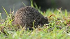 Cotton rat feeding in Florida swamp Stock Footage