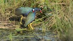 American purple Gallinule in a Florida Swamp Stock Footage