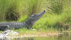 Two large American alligators along the shore Stock Footage