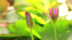 Time lapse of pink lotus bloom. green leaves background, 4k 4096x2304 clip. Stock Footage