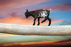 courageous young goat walking on tree clog over beautiful sunset sky, showing - stock photo