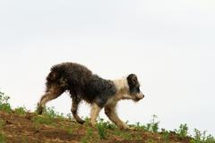 Romanian shepherd dog walking near the farm, silhouette on the hill Stock Photos