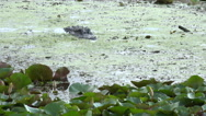 Stock Video Footage of Large alligator submerged in swamp water