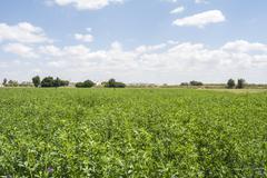 Medicago sativa in bloom (Alfalfa) Stock Photos