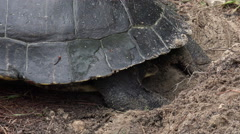 Large turtle digging and laying eggs near Florida river Stock Footage
