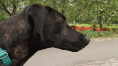 Hound Dog Smelling in a Park Stock Footage