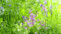 Beautiful Spring bluebell forest, HD footage. Stock Footage