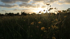 Buttercups in a meadow at sunset Stock Footage