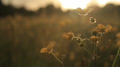 Buttercups at sunset swaying in a gentle breeze in a meadow Stock Footage