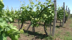 Young vineyard Stock Footage