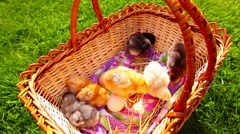 Small chickens in a green grass in a basket Stock Footage