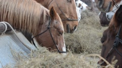 Horses eating hay from trough- rack focus Stock Footage