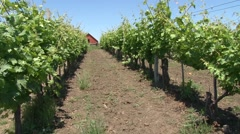 Rows in young vineyard Stock Footage