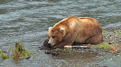 Brown Bear Sleeping on Gravel Bar Lifts His Head Then Goes Back to Sleep Stock Footage