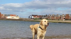 Golden Labrador on the beach, HD footage Stock Footage