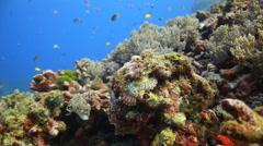Camouflage scorpionfish underwater wide Stock Footage