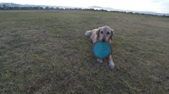 Labrador Retriever Dog Playing Frisbe Outside Stock Footage