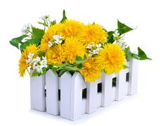 Dandelions decoration in the white fence isolated - stock photo