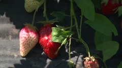 Strawberry growing on foil Stock Footage