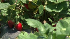 Bush of ripe strawberries Stock Footage