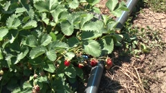 Irrigation pipe among strawberries Stock Footage