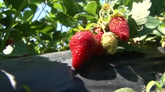 Cluster of strawberries Stock Footage