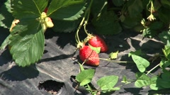 Ripe strawberries on mulch foil Stock Footage