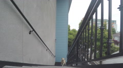 Labrador Retriever Dog Walking Up Stairs Stock Footage
