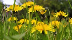 Spring dandelions growing in the garden, HD footage Stock Footage