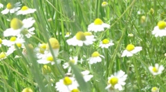 Camomiles on summer field closeup blurred green bokeh as background Stock Footage