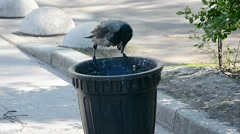 Urban crow eats out of a garbage can. Stock Footage