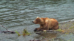 Alaskan Brown Bear on Gravel Bar Lays His Head on His Paws - stock footage
